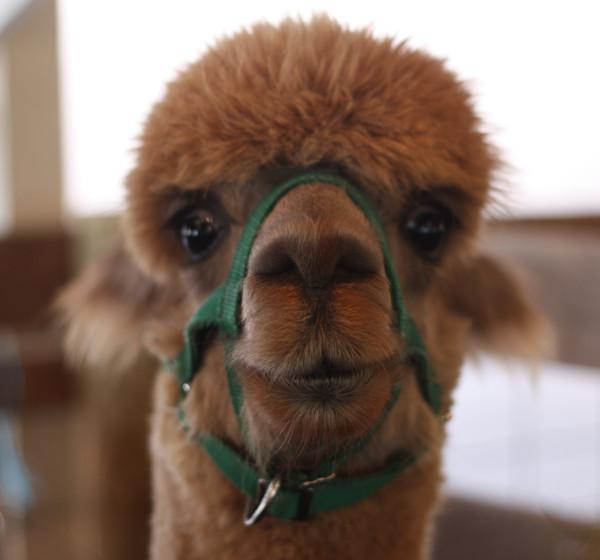 frontal alpaca